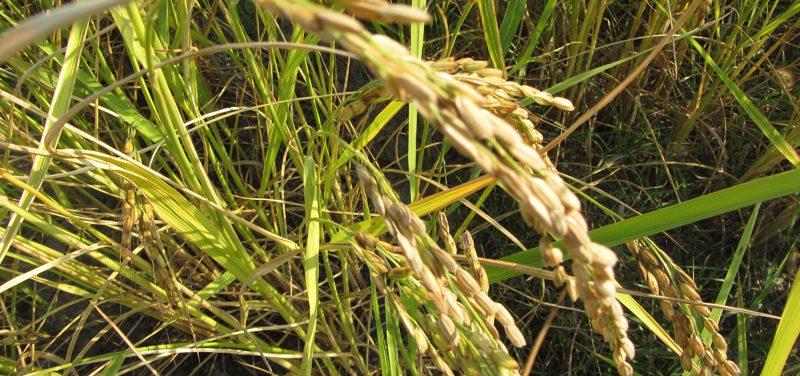 visite des rizières de Vérone